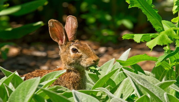 Safely Keep Rabbits Out Of The Garden Gracious Gardening