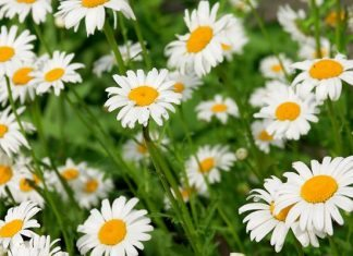 daisy facts flower