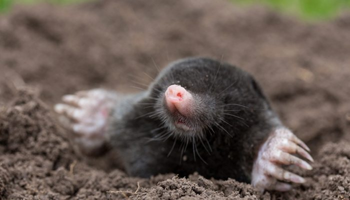 get rid of moles naturally - How To Get Rid Of A Mole